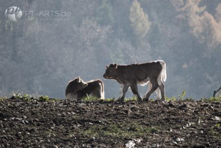 Viehweide bei Althütte Lutzenberg