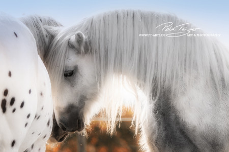 Pony, Pferde ,Pferdefotografie, equine Images, Warmblut, Lusitano, Hengst Tinker