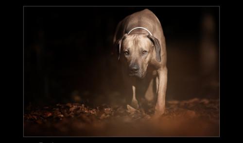 Jagdhunde, Weimaraner, Rhodesian Ridgeback