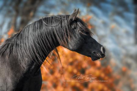 Pferde, Horses, Tierfotografie,Animals, Hunde ,Hengst, Araber, Warmblut, Tinker, Berber, Horse-in-balance, Equine Images, Equine photography