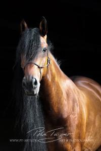 Pony, Pferde ,Pferdefotografie, equine Images, Warmblut, Lusitano, Hengst