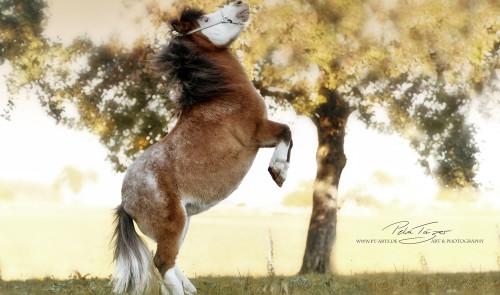Pony, Pferde ,Pferdefotografie, equine Images