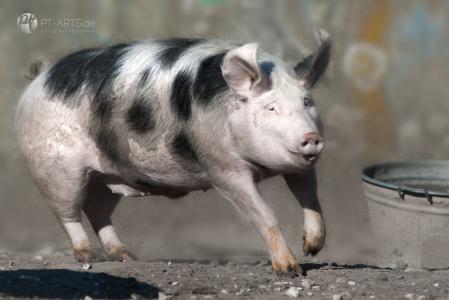 Animals, Wildlife,Tierfotografie, Eichhörnchen, Katzen, Vögel, Schweine, Bunte_Bentheimer_und_Deutsche_Sperber-32-a-web--