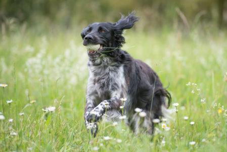 pt-arts-fotografie-petra-taenzer-hunde-action-muensterlaender