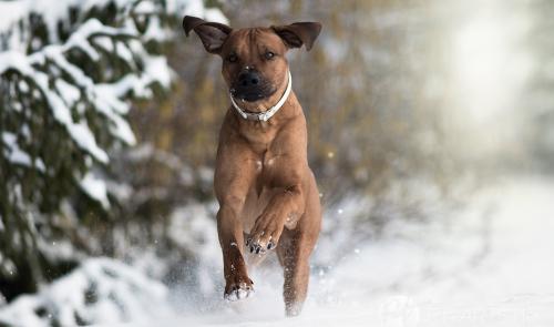 Jagdhunde, Weimaraner, Rhodesian Ridgeback, Windhunde, Retriever, PudelRhodesian Ridgeback im Schnee auf dem Feld und im Wald Hundefotografie Petra Tänzer