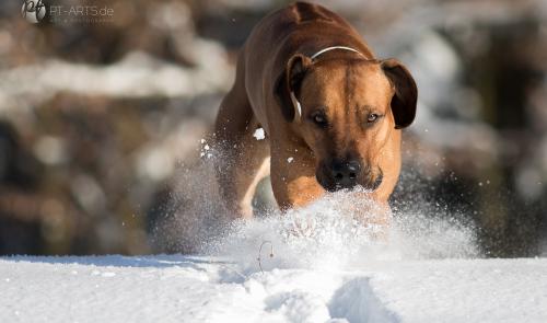 Rhodesian Ridgeback im Schnee auf dem Feld und im Wald Hundefotografie Petra Tänzer