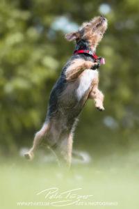 pt-arts-fotografie-petra-taenzer-hunde-action-mischling-drahthaar-schnauzer
