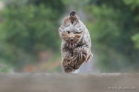 pt-arts-fotografie-petra-taenzer-hunde-action-labradudel