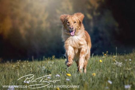 pt-arts-fotografie-petra-taenzer-hunde-action-hovawart 2