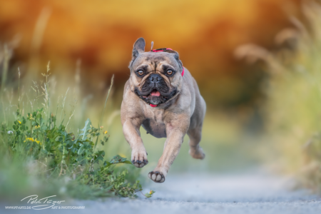 pt-arts-fotografie-petra-taenzer-hunde-action-french-bully