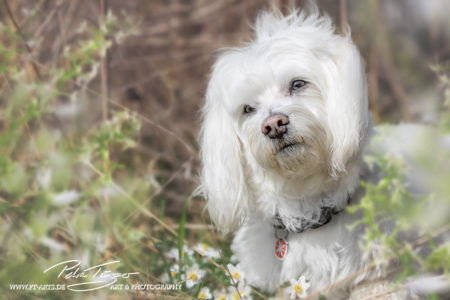 pt-arts-petra-taenzer-fotografie-tierfotografie-hunde-porträt-frühling 4