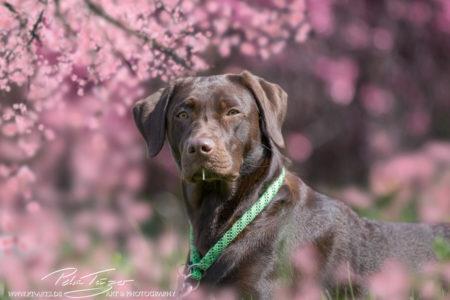 pt-arts-petra-taenzer-fotografie-tierfotografie-hunde-porträt-frühling 7