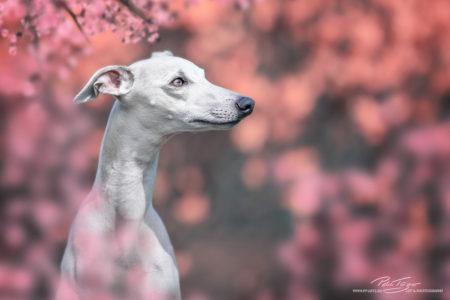 pt-arts-petra-taenzer-fotografie-tierfotografie-hunde-porträt-frühling 20