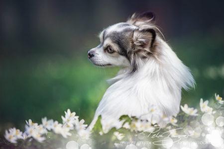 pt-arts-petra-taenzer-fotografie-tierfotografie-hunde-porträt-frühling 16