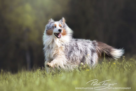 pt-arts-fotografie-petra-taenzer-hunde-action-australian-shepard