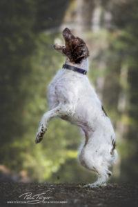 pt-arts-fotografie-petra-taenzer-hunde-action-bretone 2