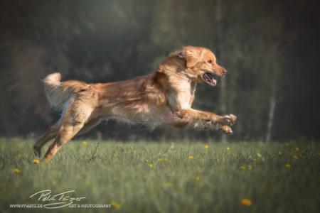 pt-arts-fotografie-petra-taenzer-hunde-action-hovawart