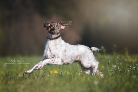 pt-arts-fotografie-petra-taenzer-hunde-action-bretone 1