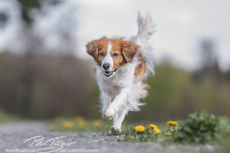 pt-arts-fotografie-petra-taenzer-hunde-action-kooikerhondje