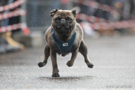 pt-arts-fotografie-petra-taenzer-hunde-action-mops-rennen