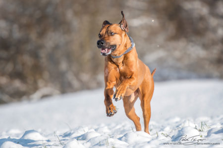 pt-arts-fotografie-petra-taenzer-hunde-action-rhodesian-ridgeback