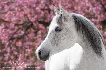 pt-arts-fotografie-tierfotografie-pferde-frühling-araber-rosa-blütenzauber 2