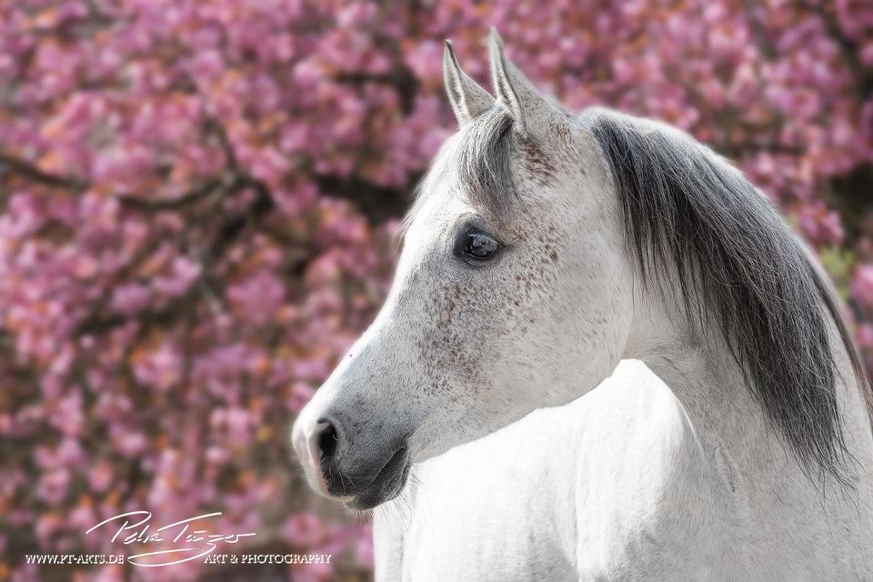 Pt Arts Fotografie Tierfotografie Pferde Fr 252 Hling Araber