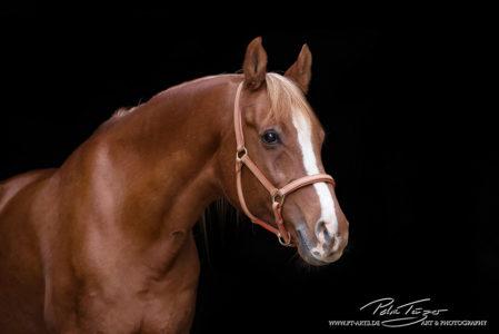 pt-arts-fotografie-tierfotografie-pferde-studio-araberfuchs-schwarzer-hintergrund. jpg