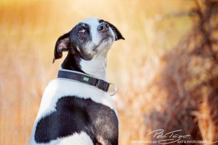 pt-arts-petra-taenzer-fotografie-tierfotografie-hunde-porträt-treuer-blick