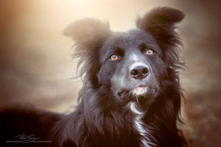 pt-arts-tierfotografie-hunde-porträt-treuer-blick 02
