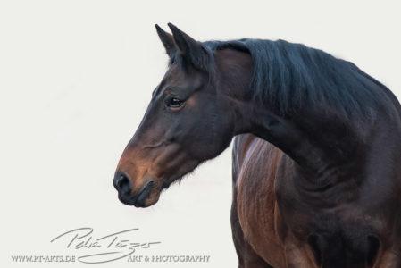 pt-arts-fotografie-tierfotografie-pferde-braunes -pferd-hintergrund-weiß 01