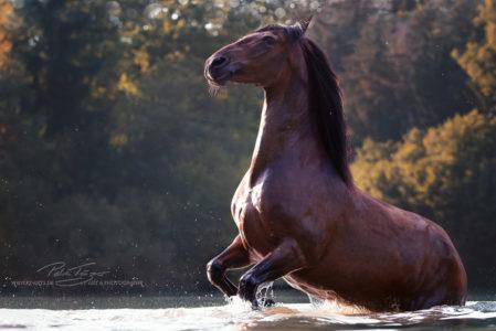 pt-arts-petra-taenzer-fotografie-pferde-braunes-pferd-im-wasser-steigend 1