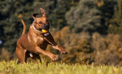 Rhodesian Ridgeback Hundefotografie im Schwäbischen Wald in der Nähe von Stuttgar