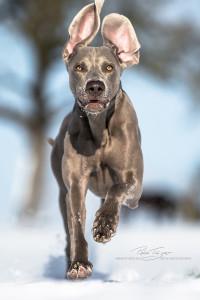 Jagdhunde, Weimaraner, Rhodesian Ridgeback, Windhunde