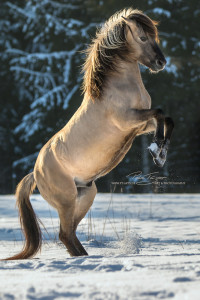 #pferde #steigendespferd #schnee #winter
