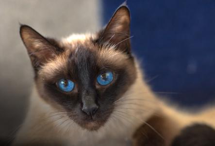 Edle Siamkatze mit blauem Hintergrund