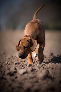 Hundefotografie-Schnüffeln-auf-dem-Feld