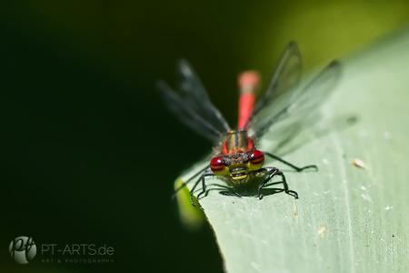 Makrofotografie#Insekten#Libellen#Schaben#Bienen#Schneckenhaus Fotografie Petra Tänzer