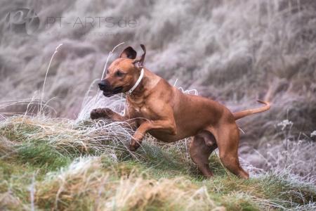 Petra Tänzer Hundefotografie Kenai  , der FamilienhundKenai-im-Winter-(4-von-4)a-web