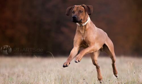 Jagdhunde, Weimaraner, Rhodesian Ridgeback, Windhunde, Retriever, PudelPetra Tänzer Hundefotografie Kenai , der Familienhund