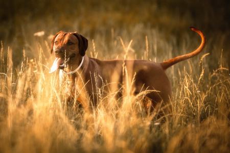 Rhodesian-Ridgeback-im-African-Style-Hundefotografie-Petra-Tänzer
