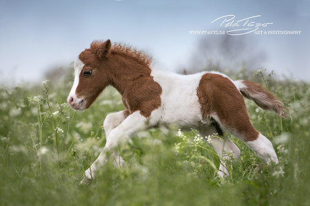 #pferde #galopp #shetty #sommerr #koppel #fohlen