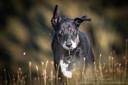 pt-arts-fotografie-petra-taenzer-hunde-action-dogge-windhund-mix