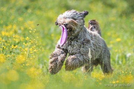 pt-arts-fotografie-petra-taenzer-hunde-action-labradudel 2