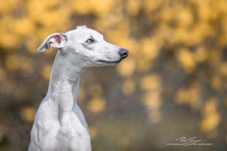 pt-arts-petra-taenzer-fotografie-tierfotografie-hunde-porträt-frühling 19