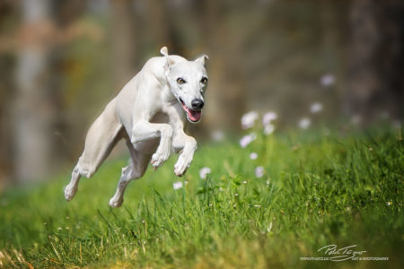 pt-arts-petra-taenzer-fotografie-tierfotografie-hunde-action-frühling 17