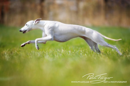 pt-arts-petra-taenzer-fotografie-tierfotografie-hunde-action-frühling 18