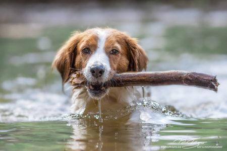 pt-arts-fotografie-petra-taenzer-hunde-action-kooikerhondje 2