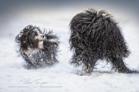 pt-arts-fotografie-petra-taenzer-hunde-action-havaneser