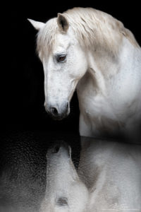 pt-arts-fotografie-tierfotografie-pferde-araber-regen-spiegel